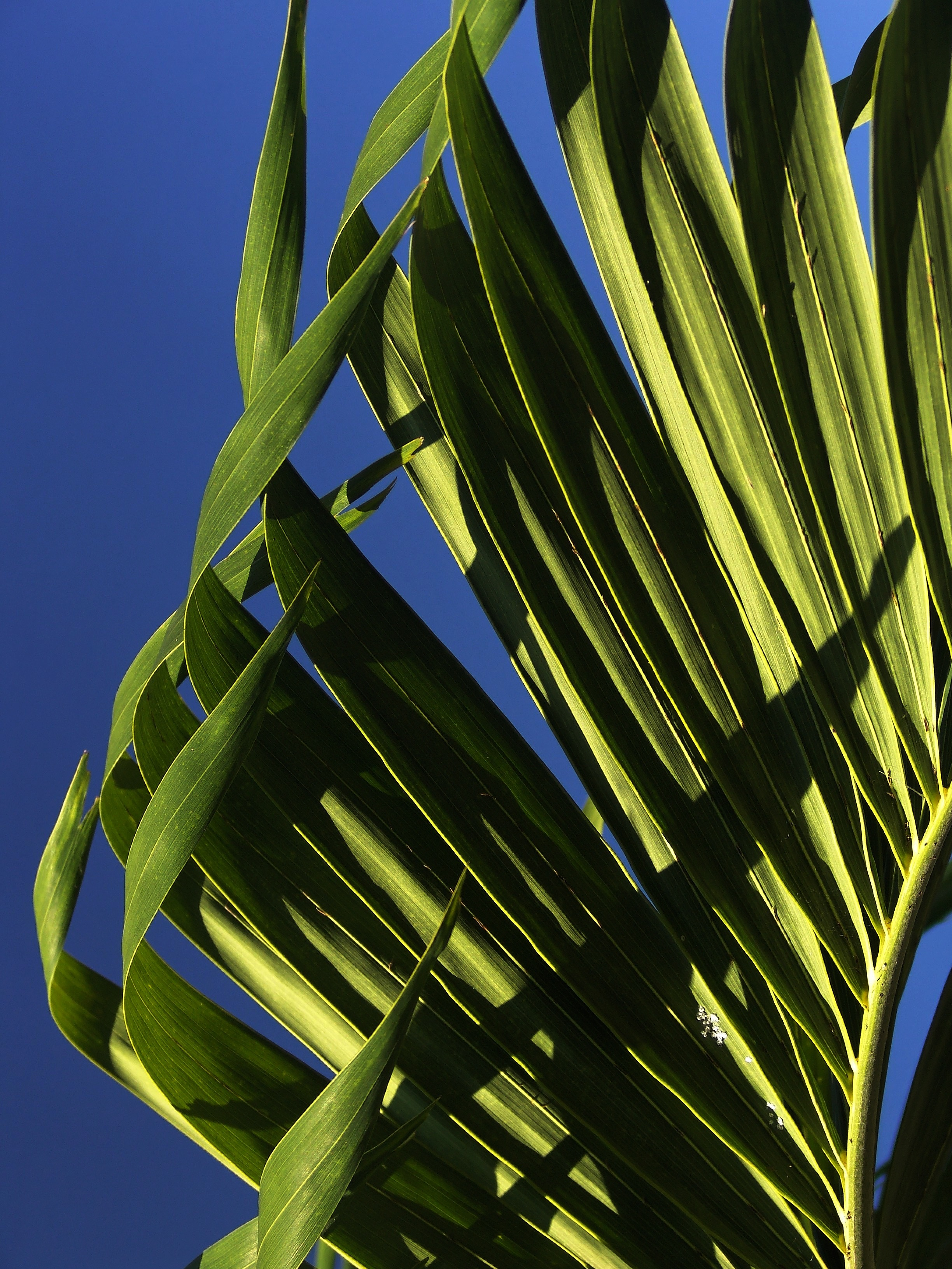 free stock photo of fan palm leaves palm