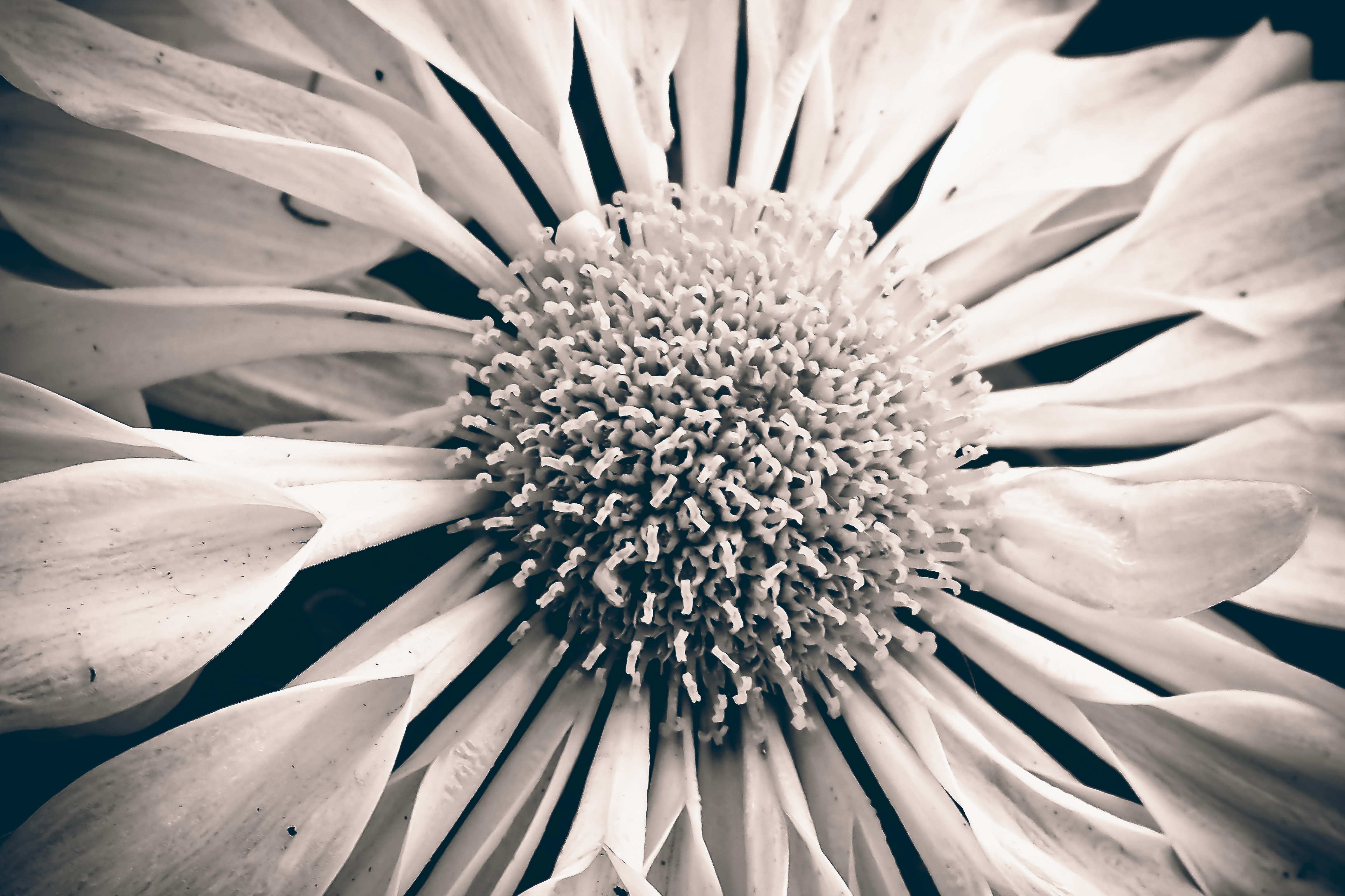 free stock photo of beautiful black and white bloom