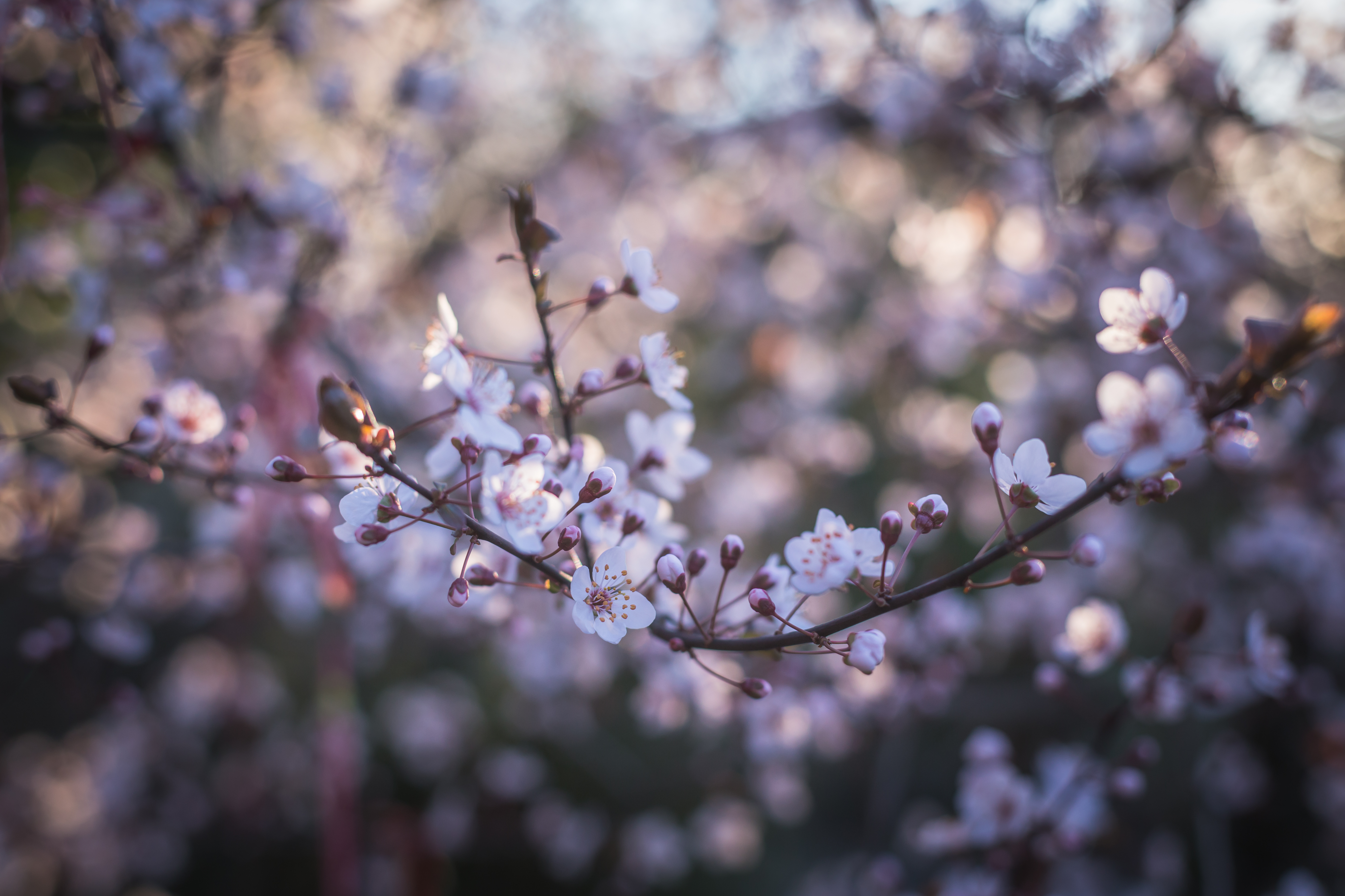 cherry blossoms close up photography 183 free stock photo