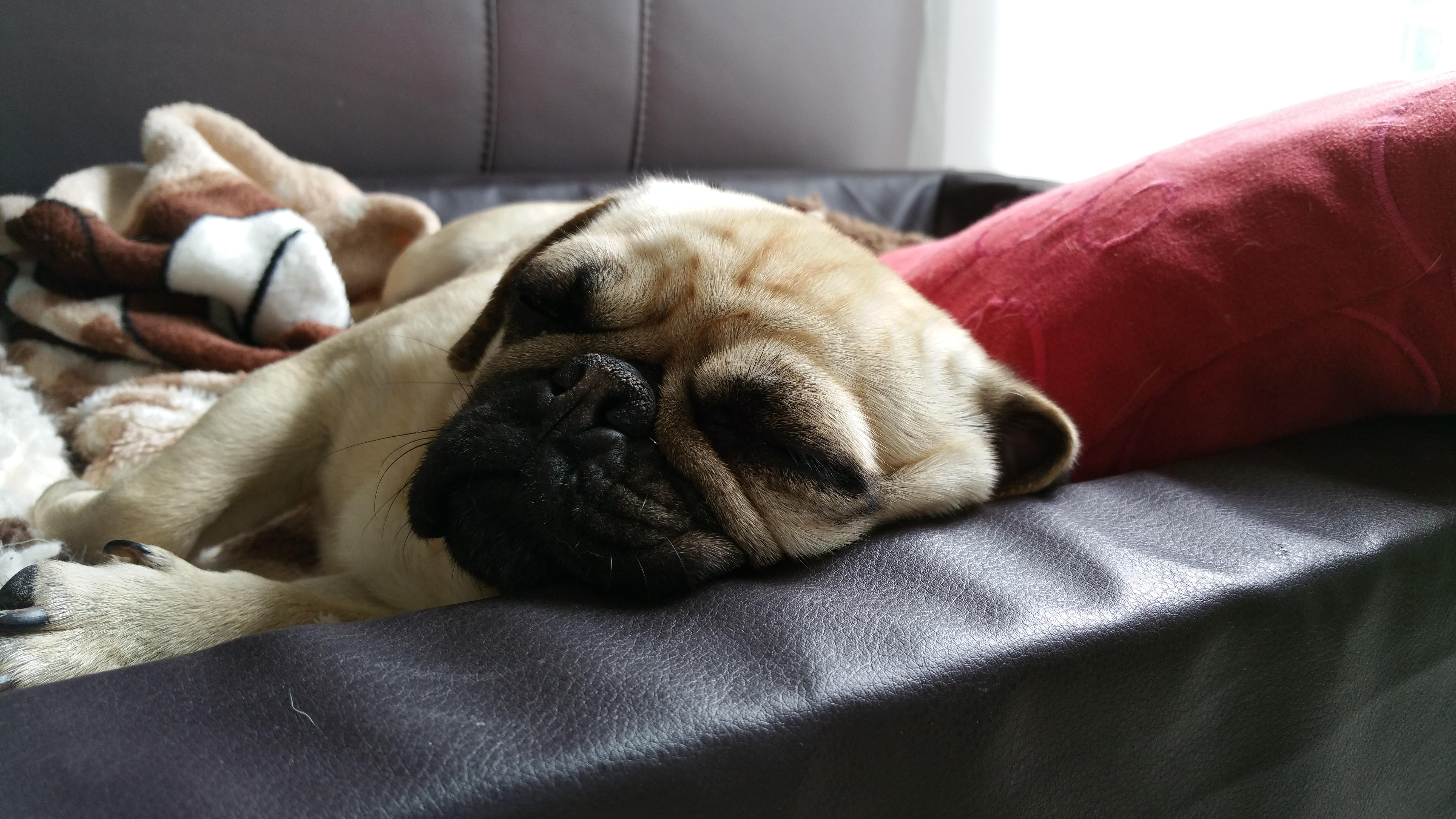 pug pet-sitter