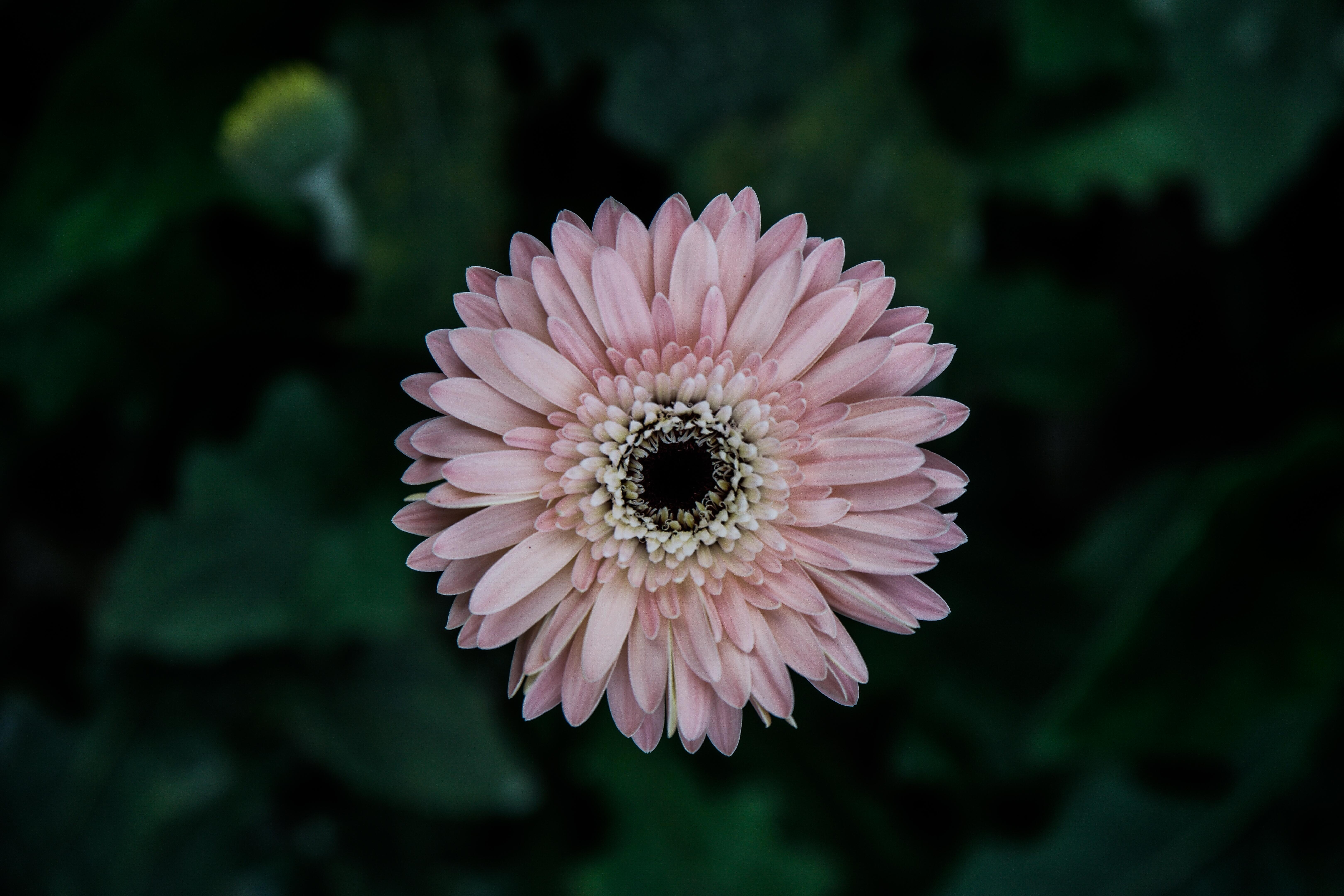 free stock photo of closeup daisy flowers