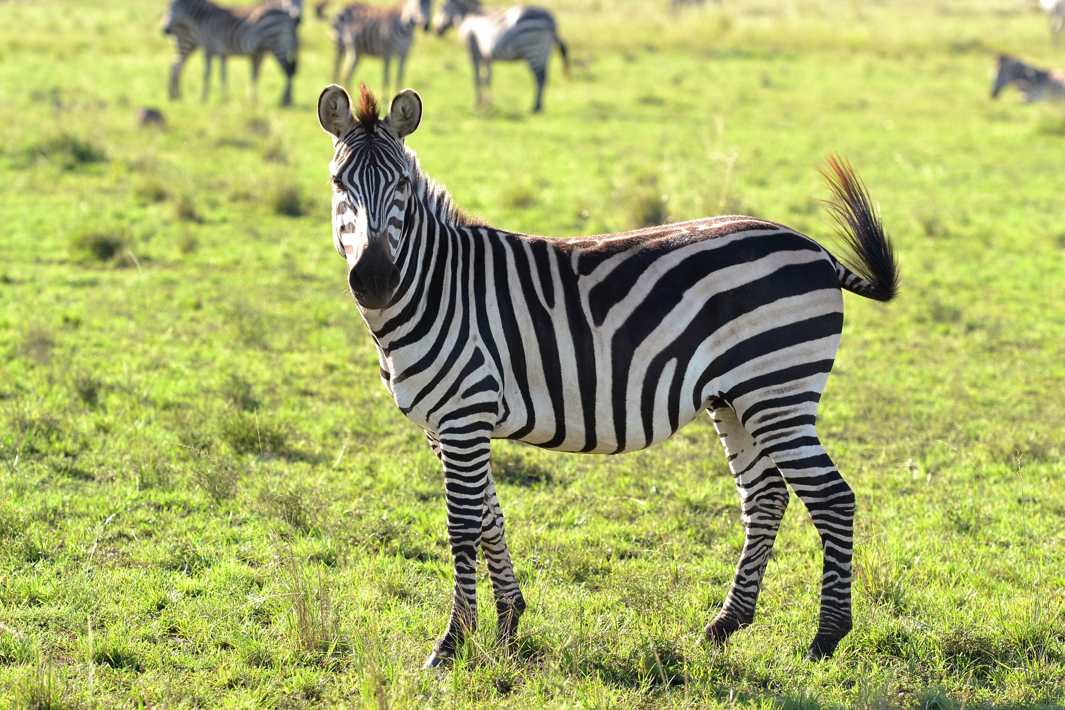 Free stock photo of animals, wild animal, zebra