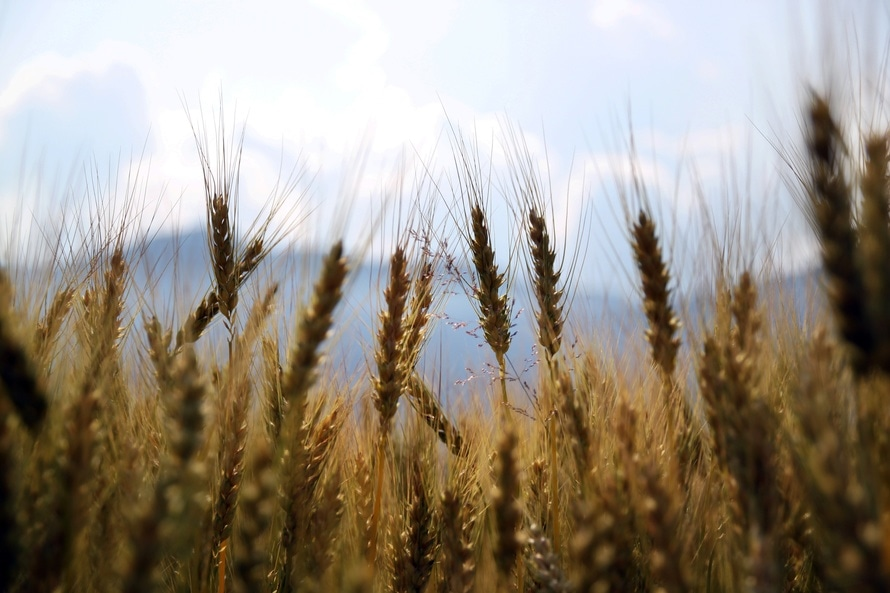 field, cereal, wheat