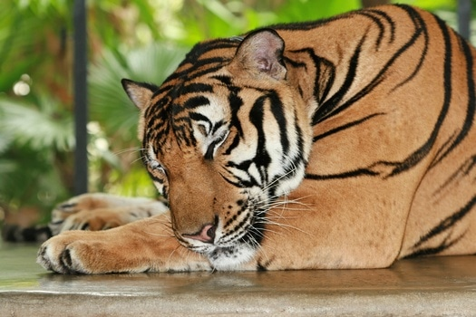 Free stock photo of africa, zoo, stripes, tiger