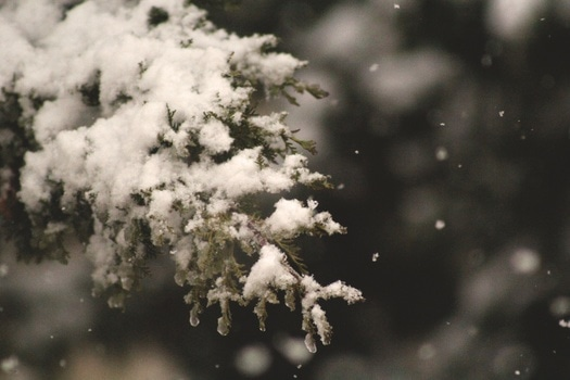 Pine Tree Leaf Cover in Snow