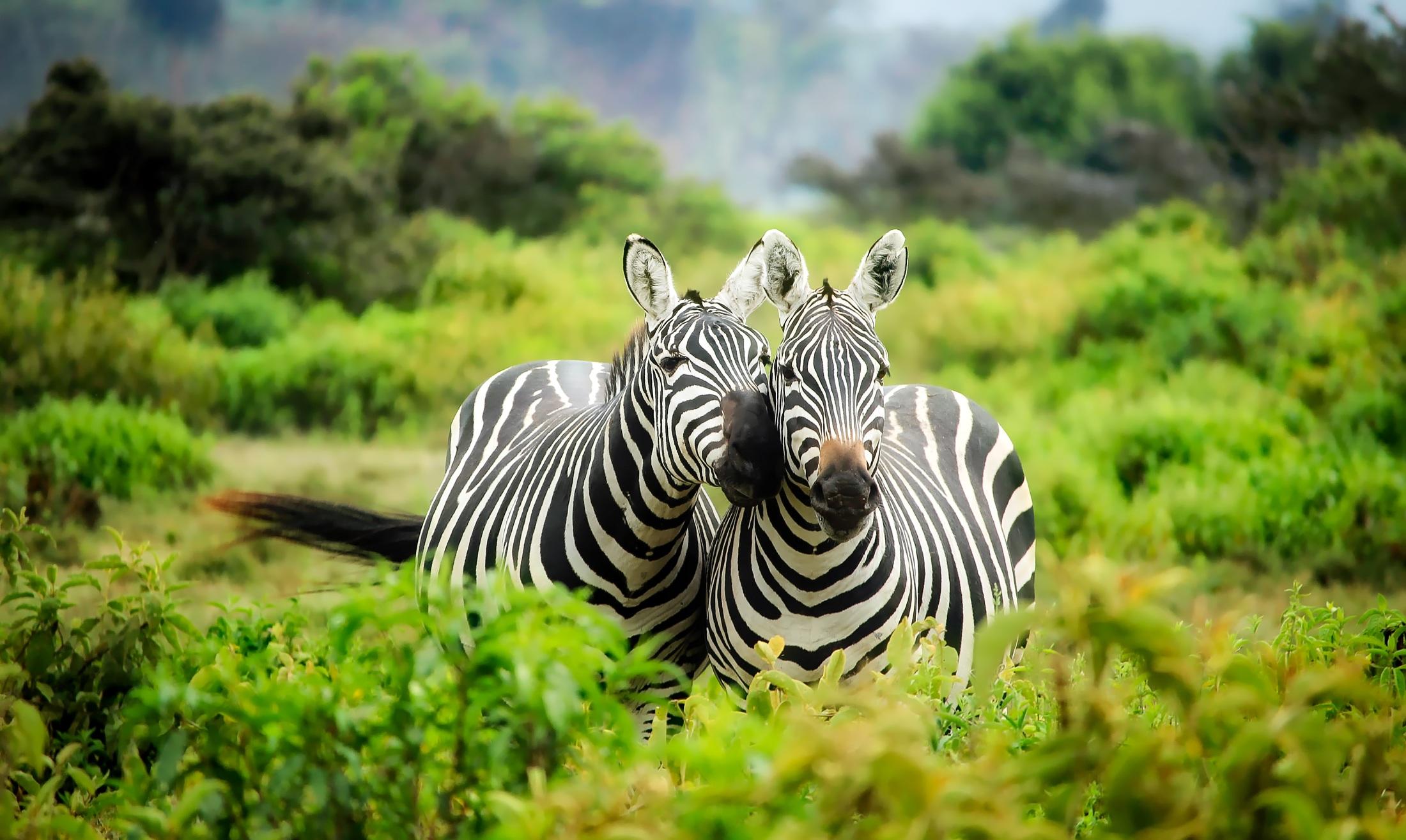 zebras on zebra free stock photo