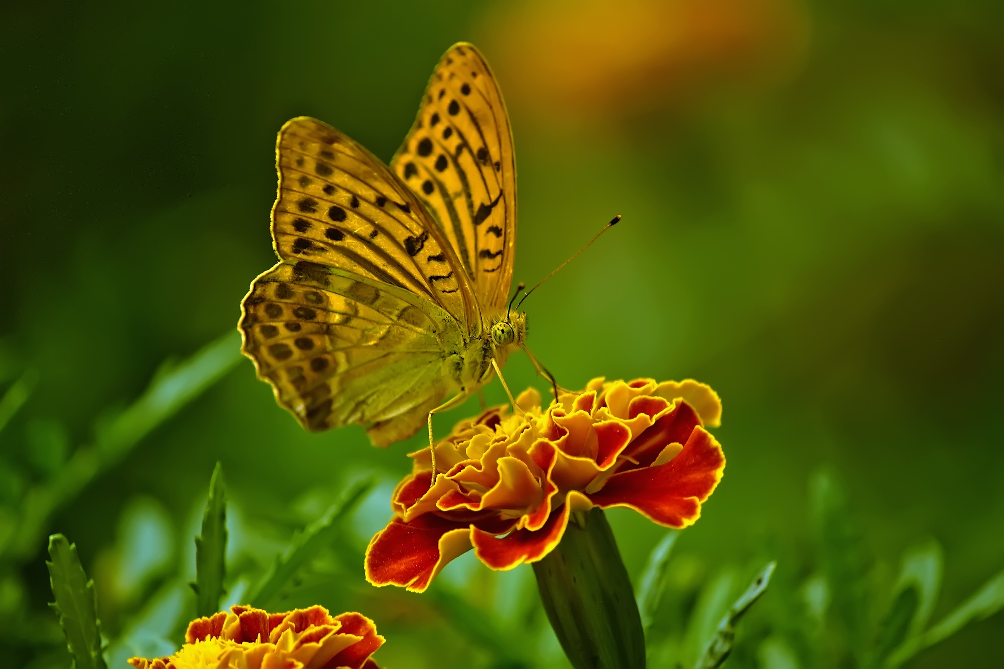 Close up of butterfly pollinating on flower free stock photo - Flower wallpaper 7d ...