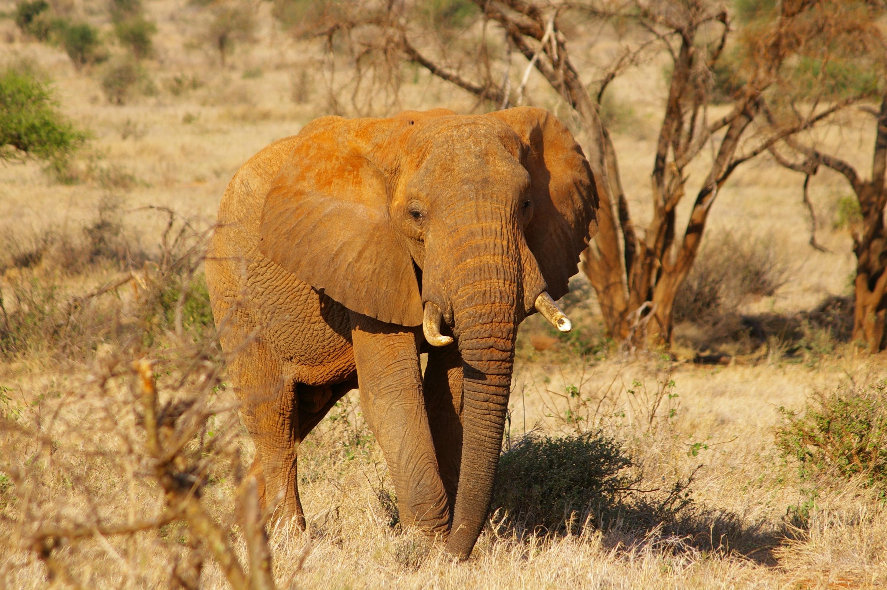 free stock photo of africa african bush elephant animal portrait