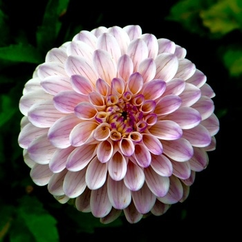 Free stock photo of flower, close-up, dahlia