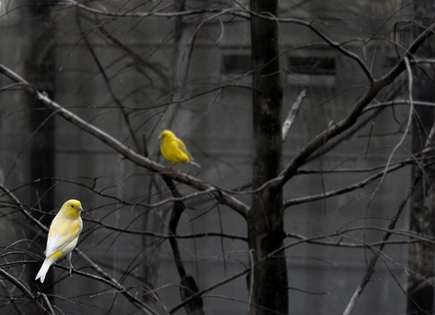 Selective Color Photo of 2 Yellow and White Bird on Bare Tree