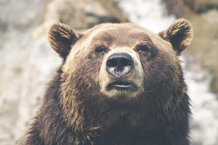 animal, brown bear, dangerous