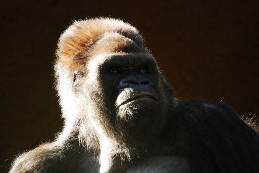 Free stock photo of animal, zoo, ape, monkey