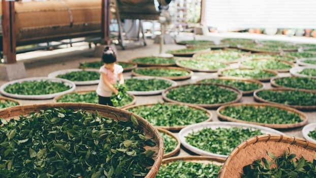 Free stock photo of tea, harvest, child, work