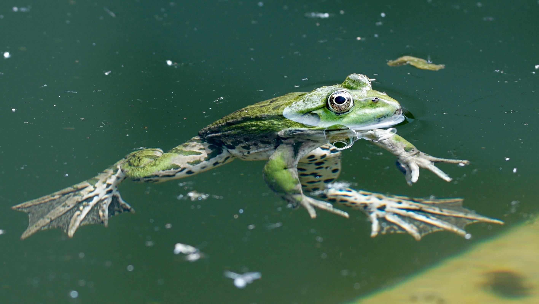free stock photo of amphibians frog nature