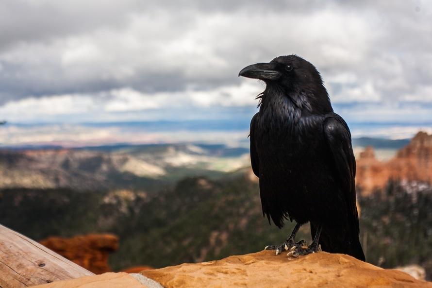 bird, desert, raven