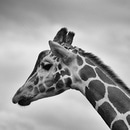 black-and-white, animal, africa