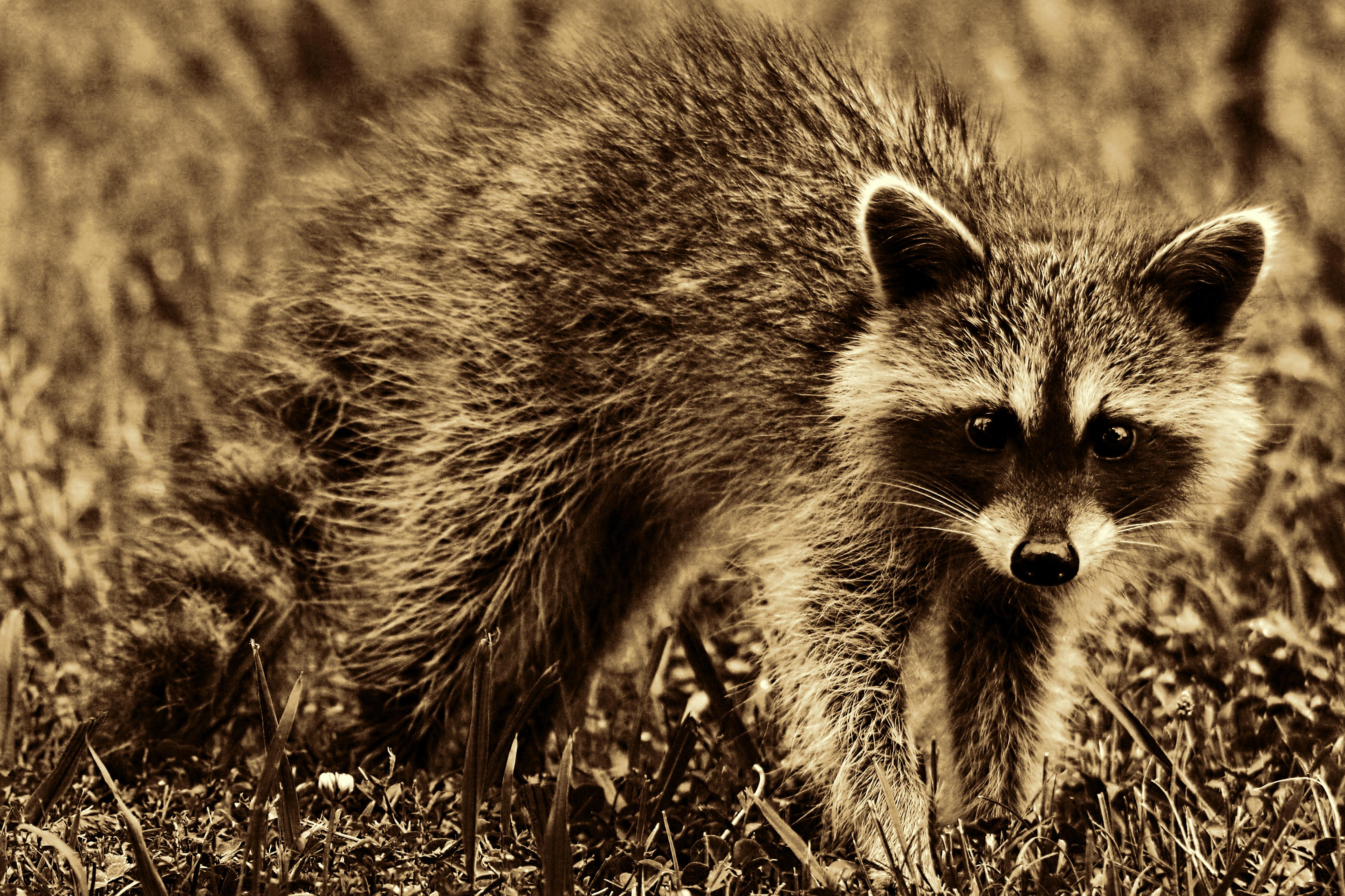 free stock photos of raccoon pexels