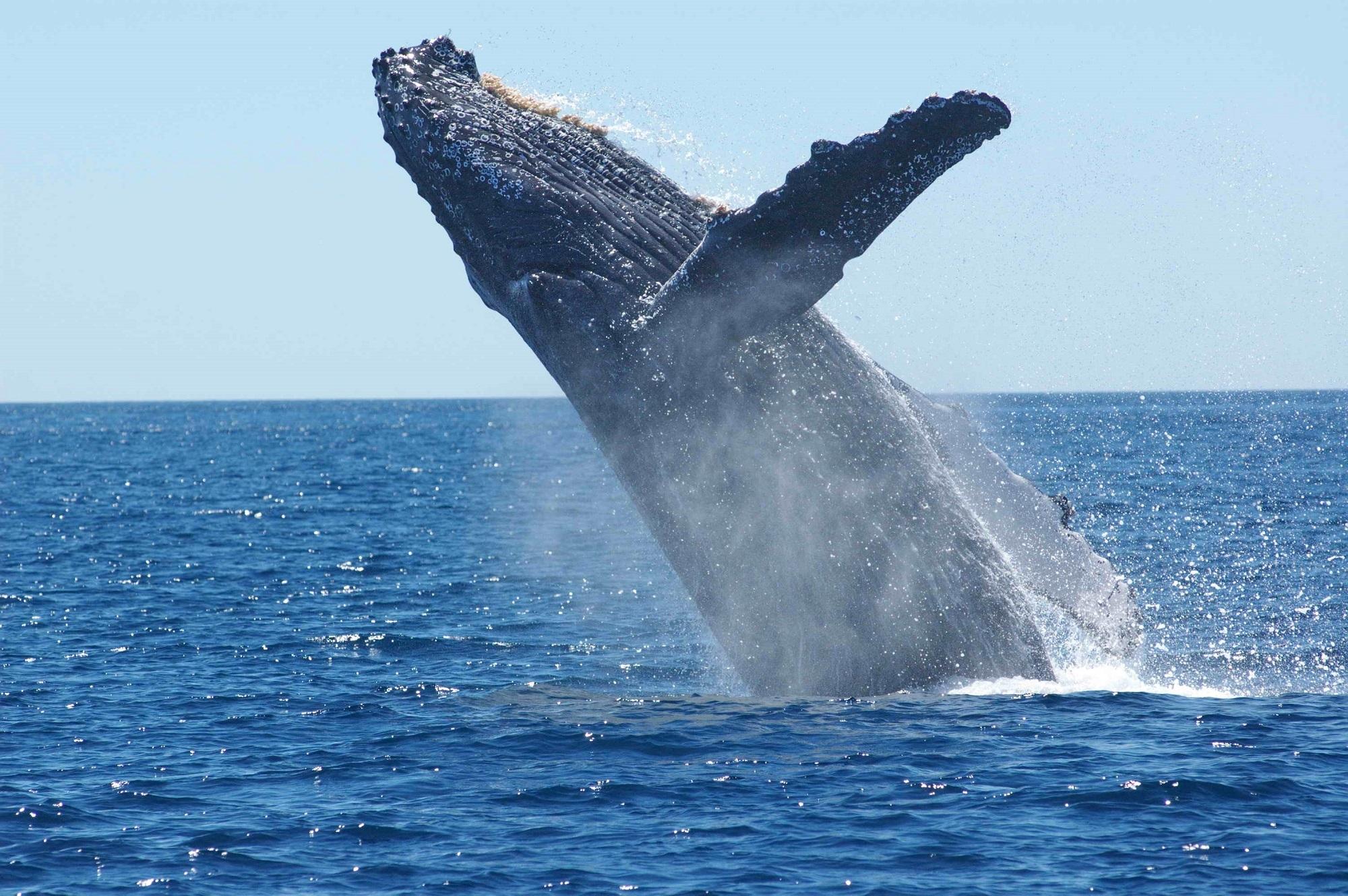 free stock photo of animal breaching cetacean