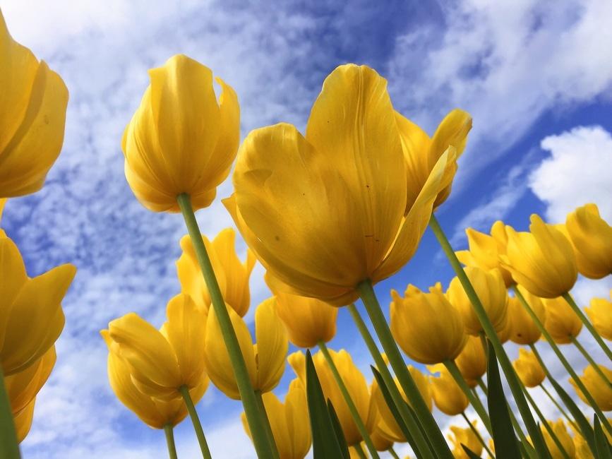 Flores amarillas bajo Sunny azul y blanco del cielo nublado