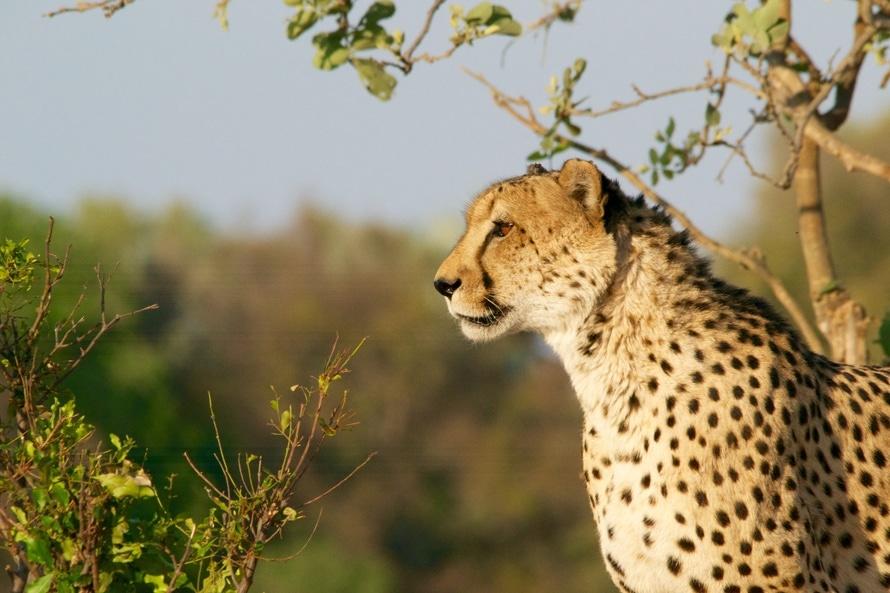 africa, big cat, cheetah