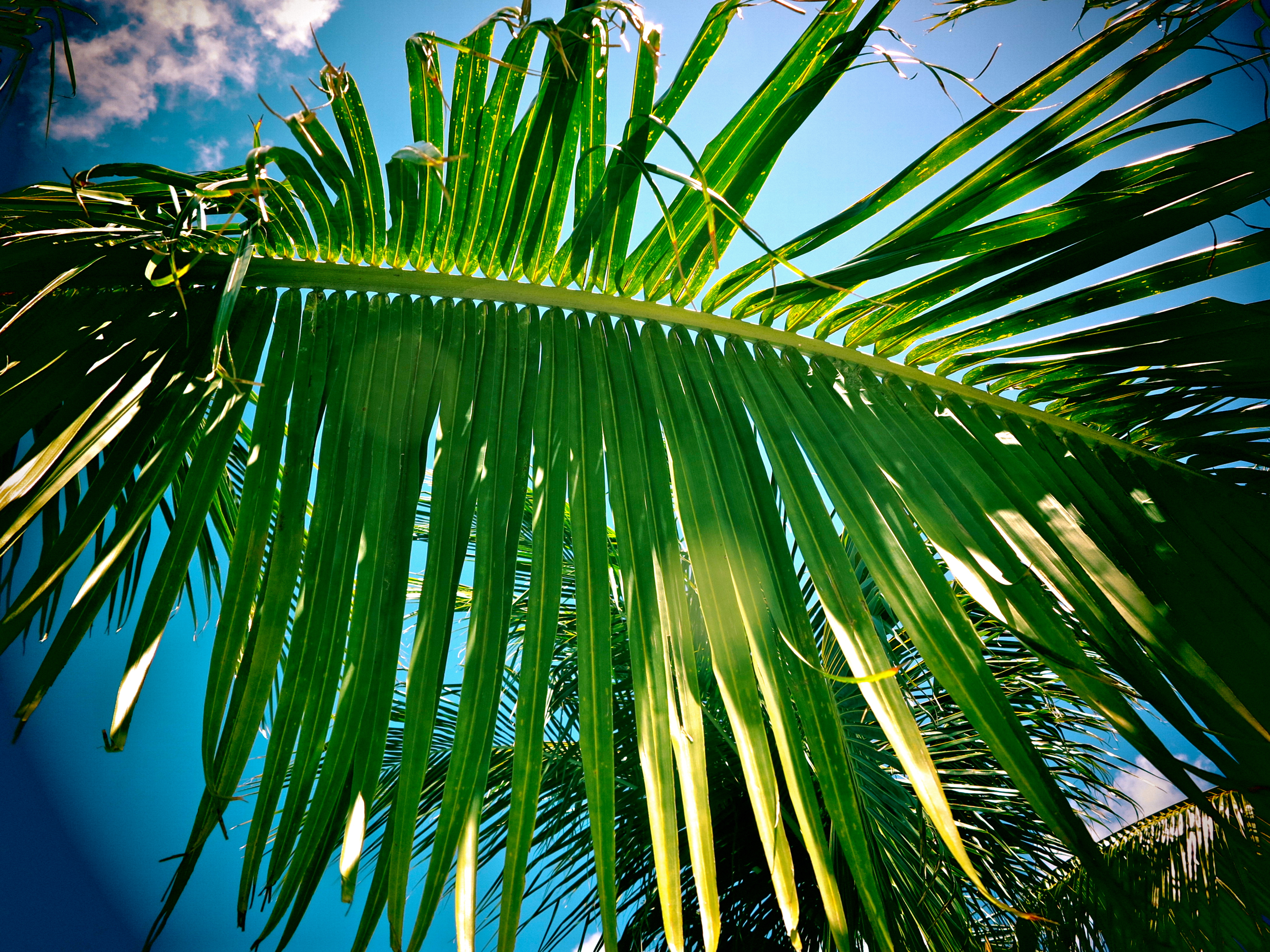 free stock photo of caribbean palm palm tree