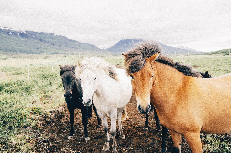free stock photo of farm animals horses - Free Pics Of Animals