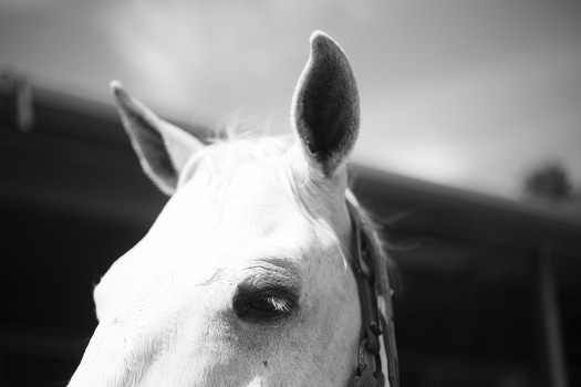 Free stock photo of black-and-white, animal, macro, horse