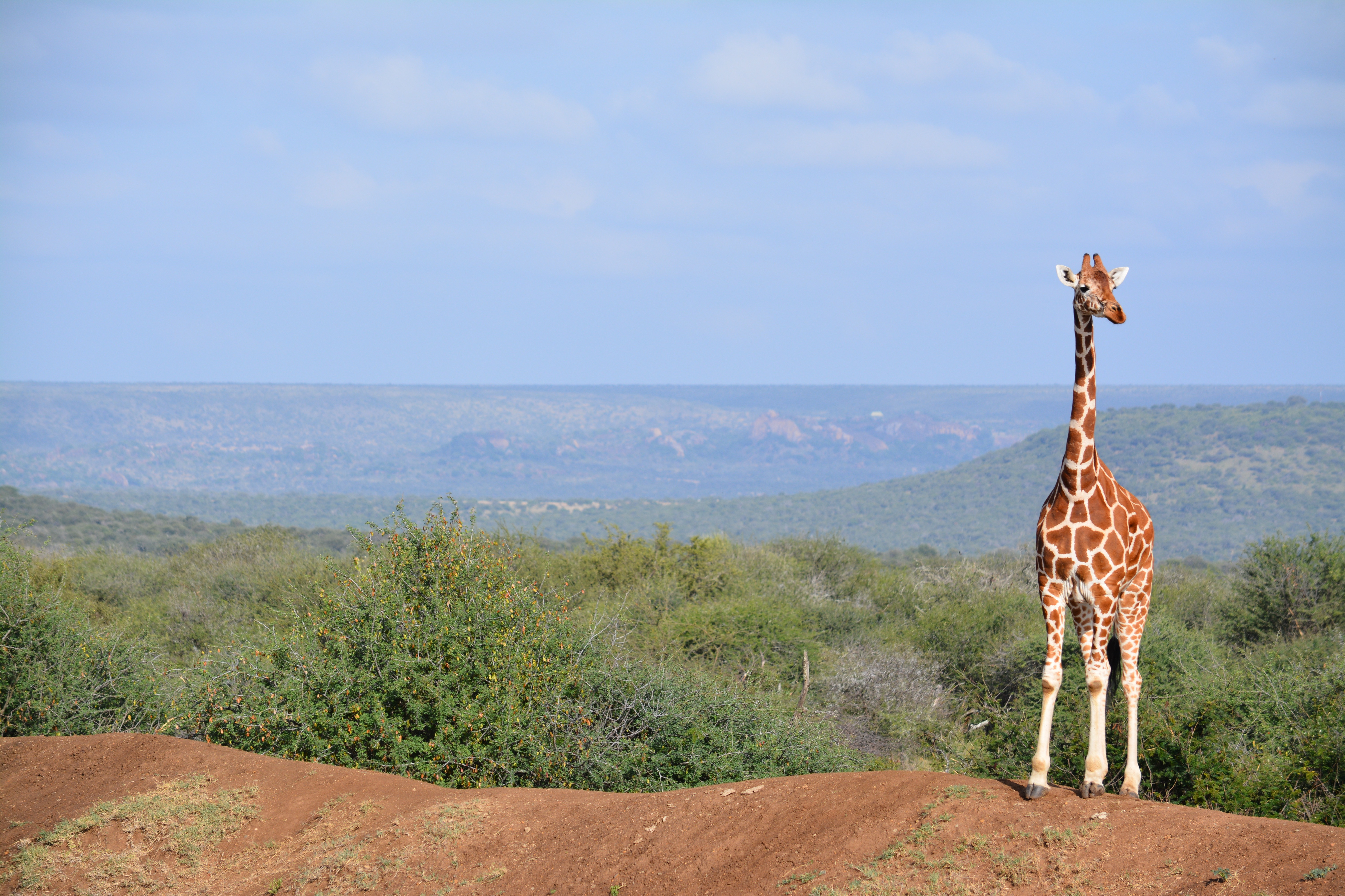 free stock photo of africa african giraffe