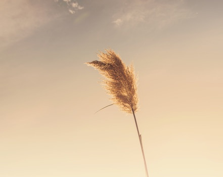 Free stock photo of plant, reed, cane