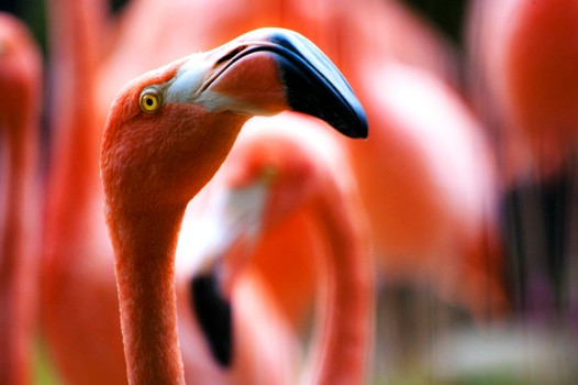 Free stock photo of bird, red, zoo, flamingo