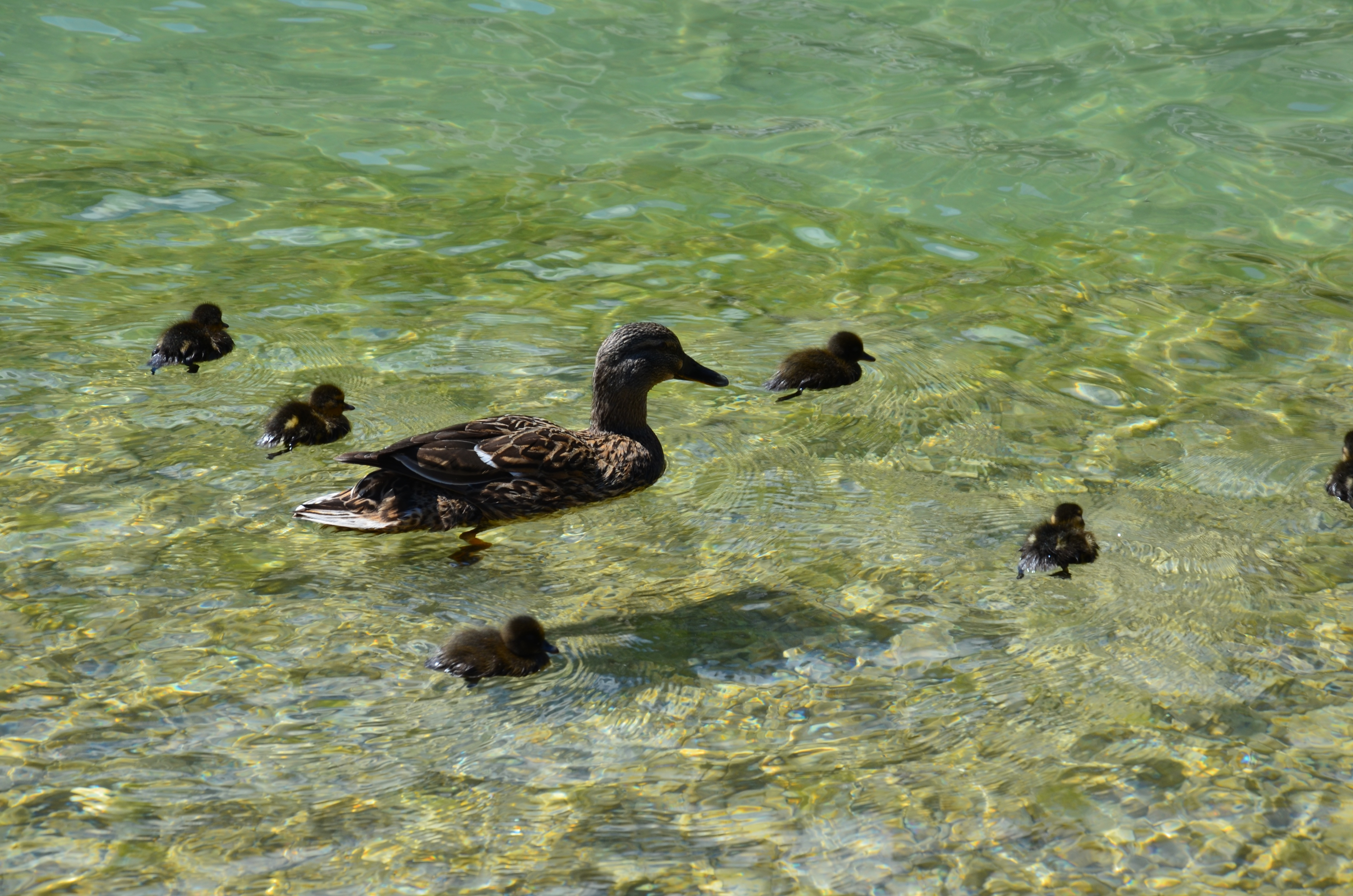free stock photo of bird cute duck family