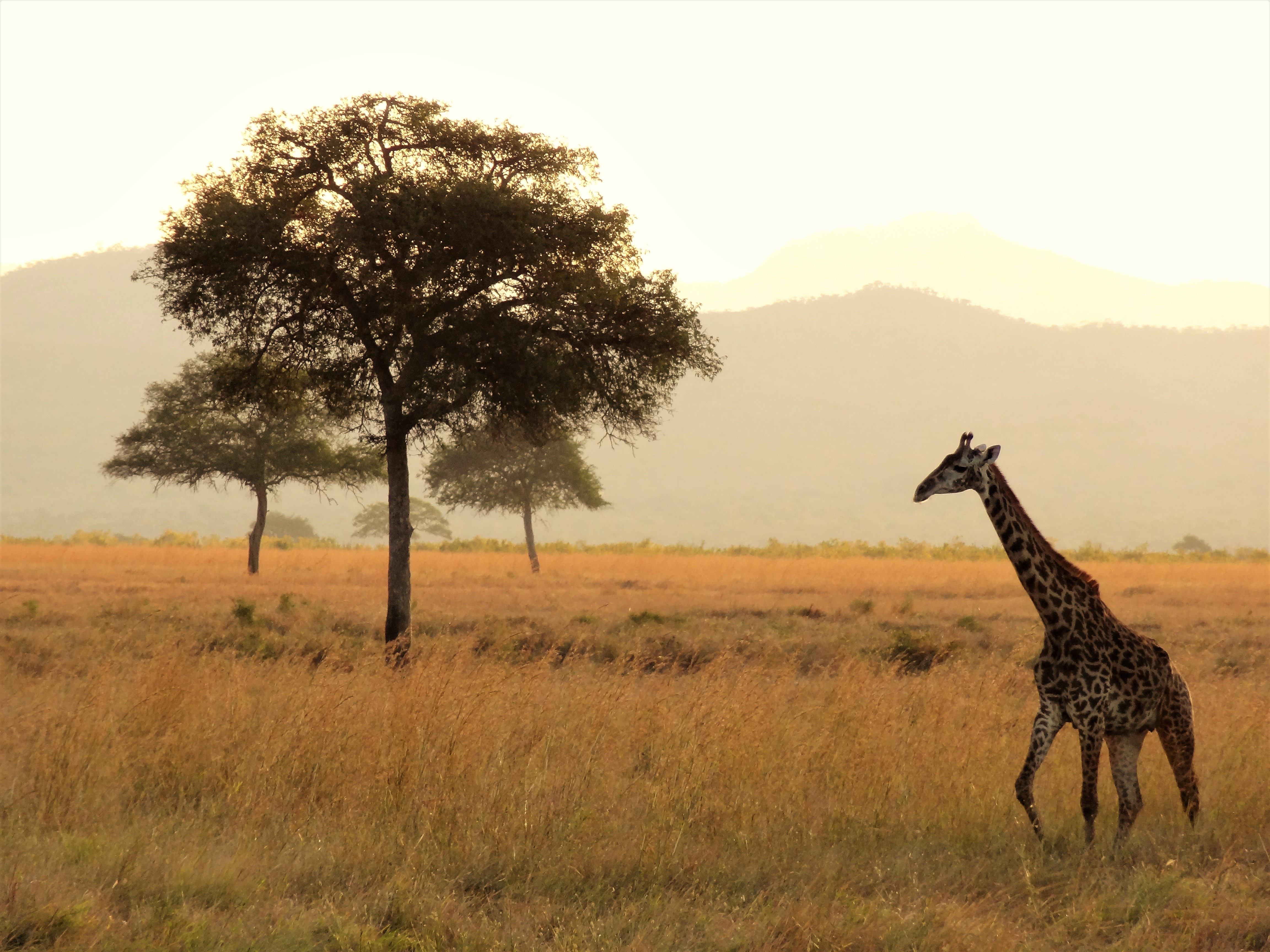 free stock photo of africa giraffe national park