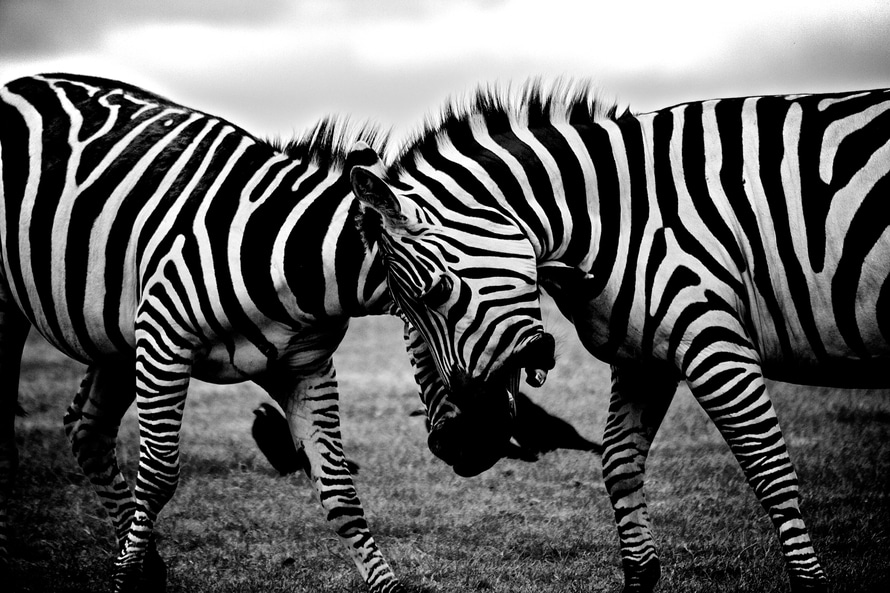black-and-white, africa, animals