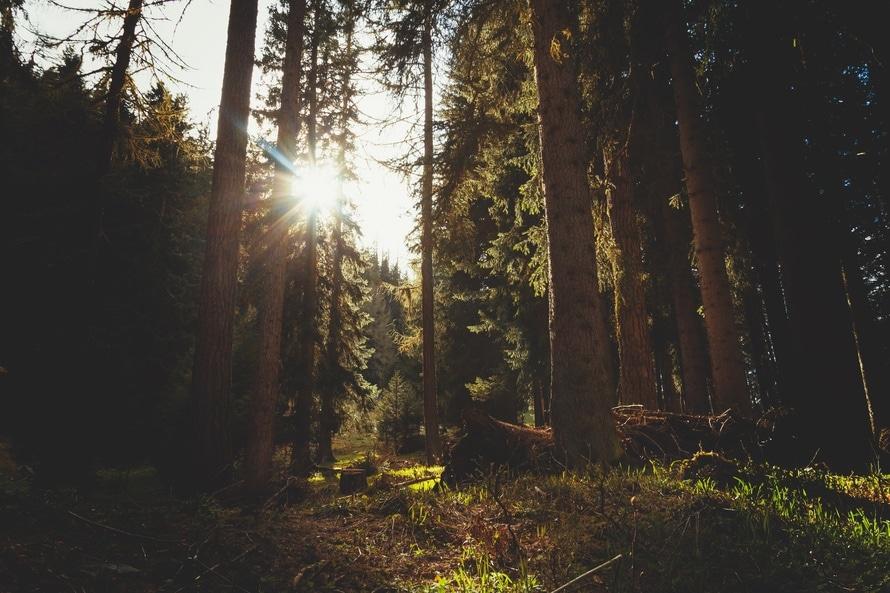 coniferous, conifers, environment