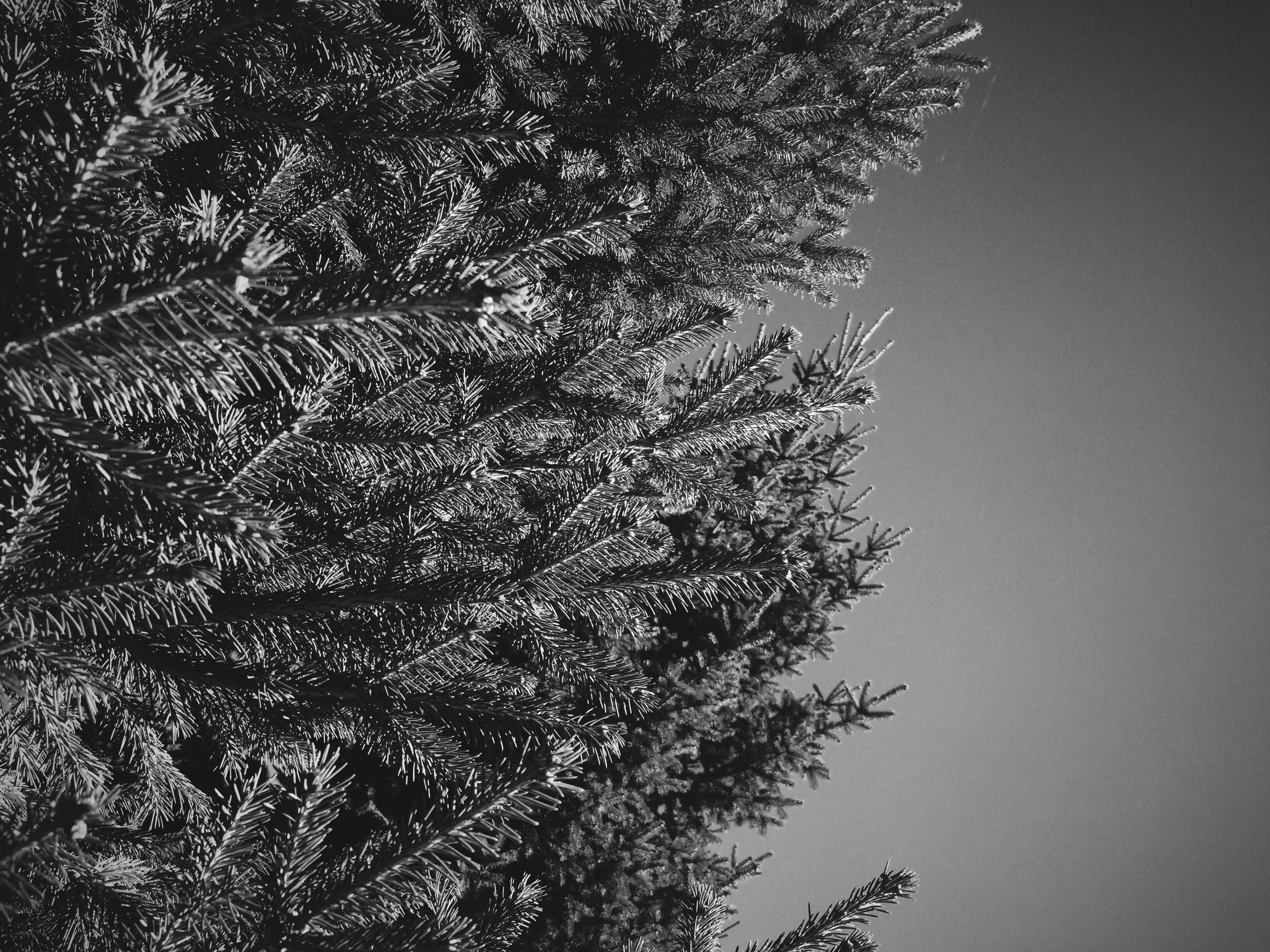 free stock photo of black and white brunch christmas tree