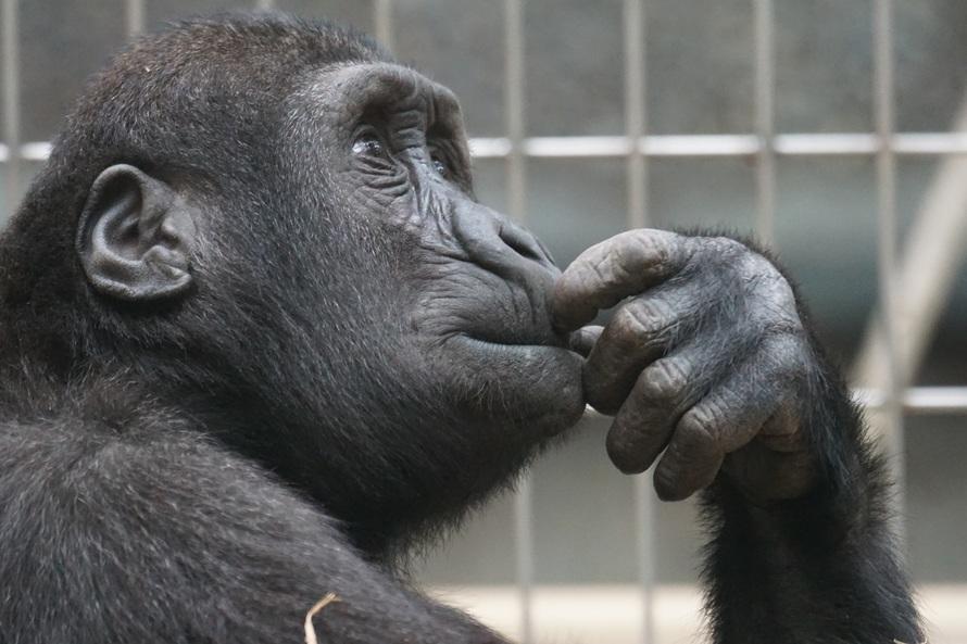 侏儒黑猩猩也有同性性行為的表現