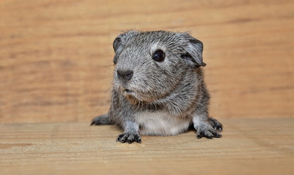 Free stock photo of animal, pet, rodent, small animal