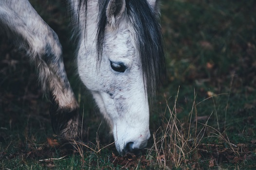 White Horse With Black Main Grazing