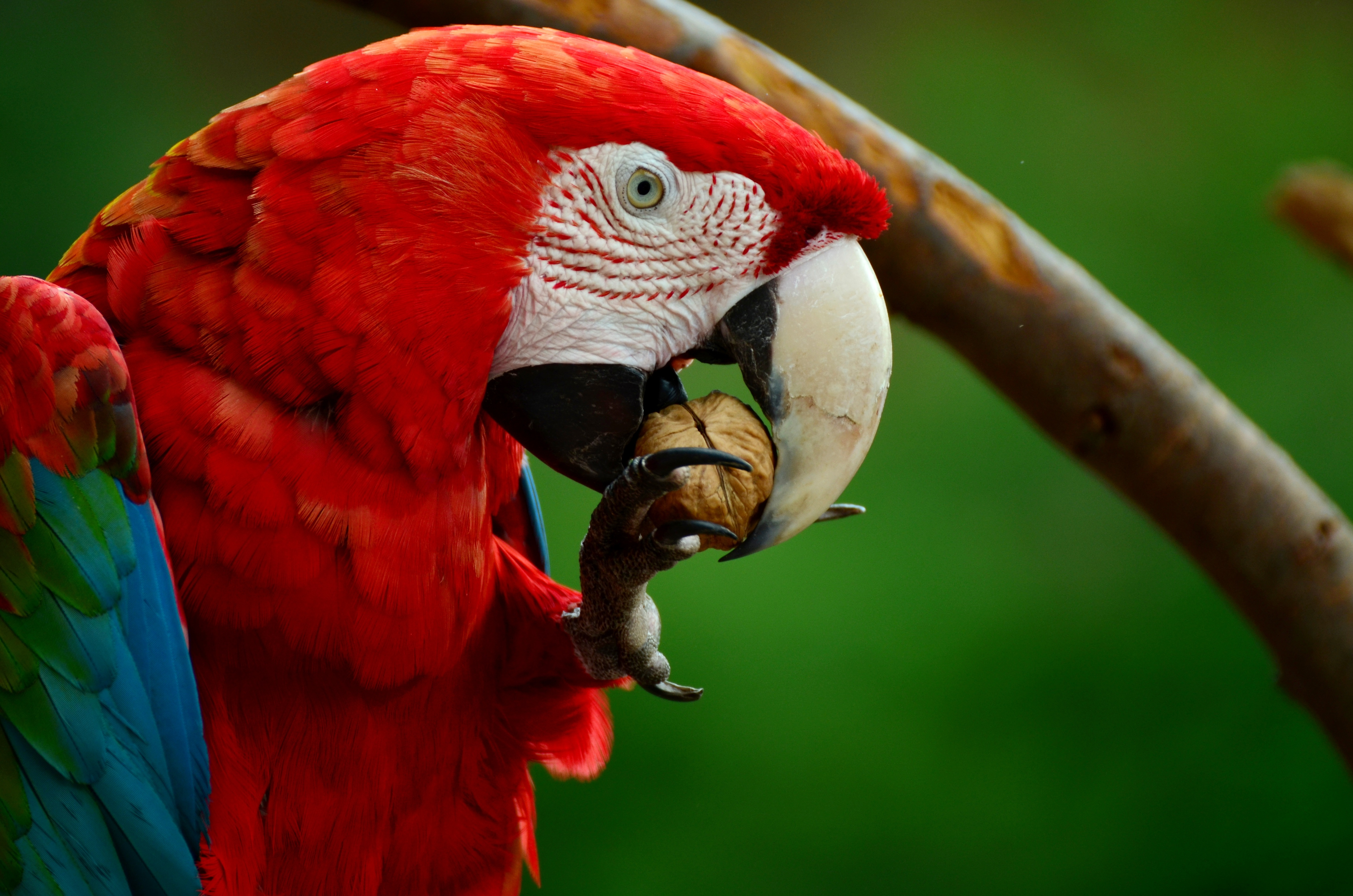 red white blue and green parrot bird · free stock photo