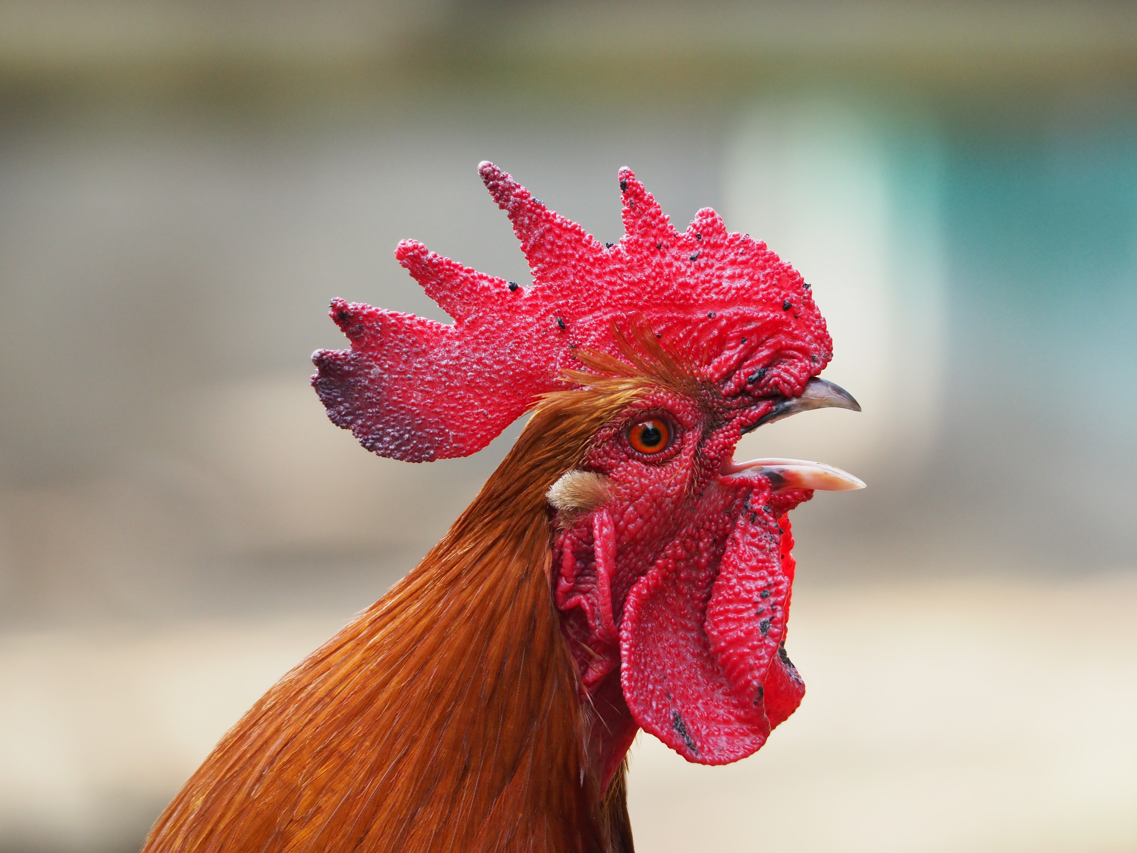 free stock photos of rooster pexels