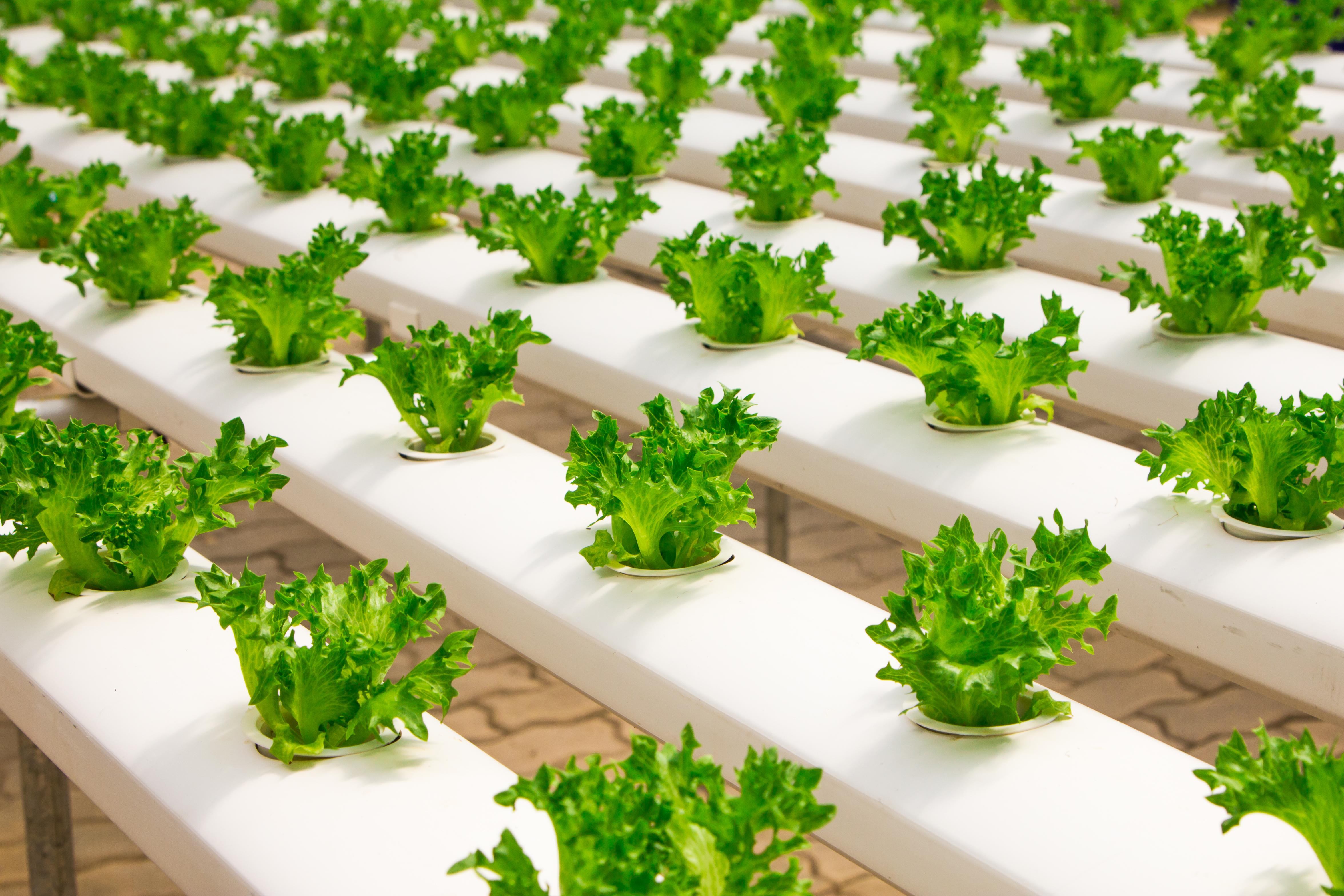 Growing Lettuce indoor urban farm