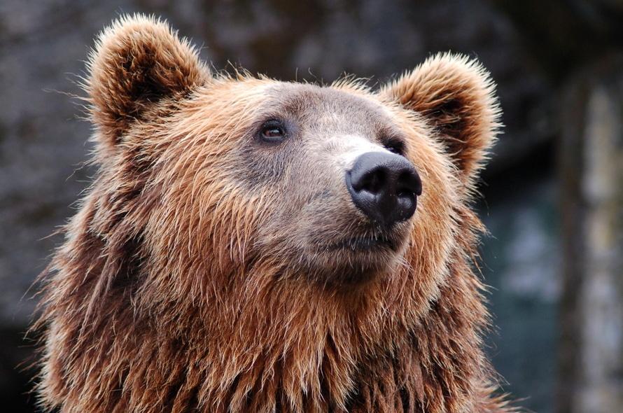 animal, zoo, bear