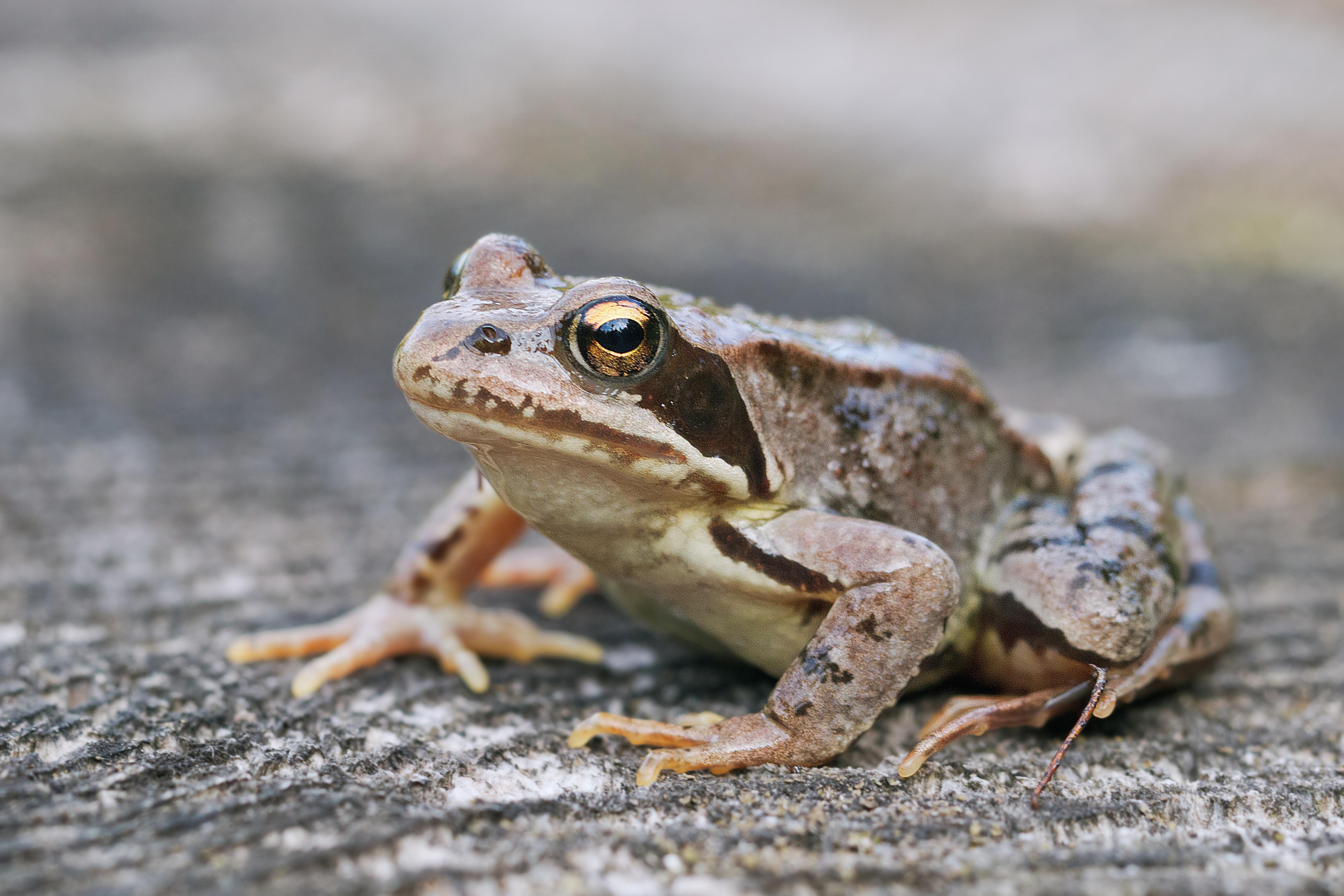 free stock photo of amphibian frog macro