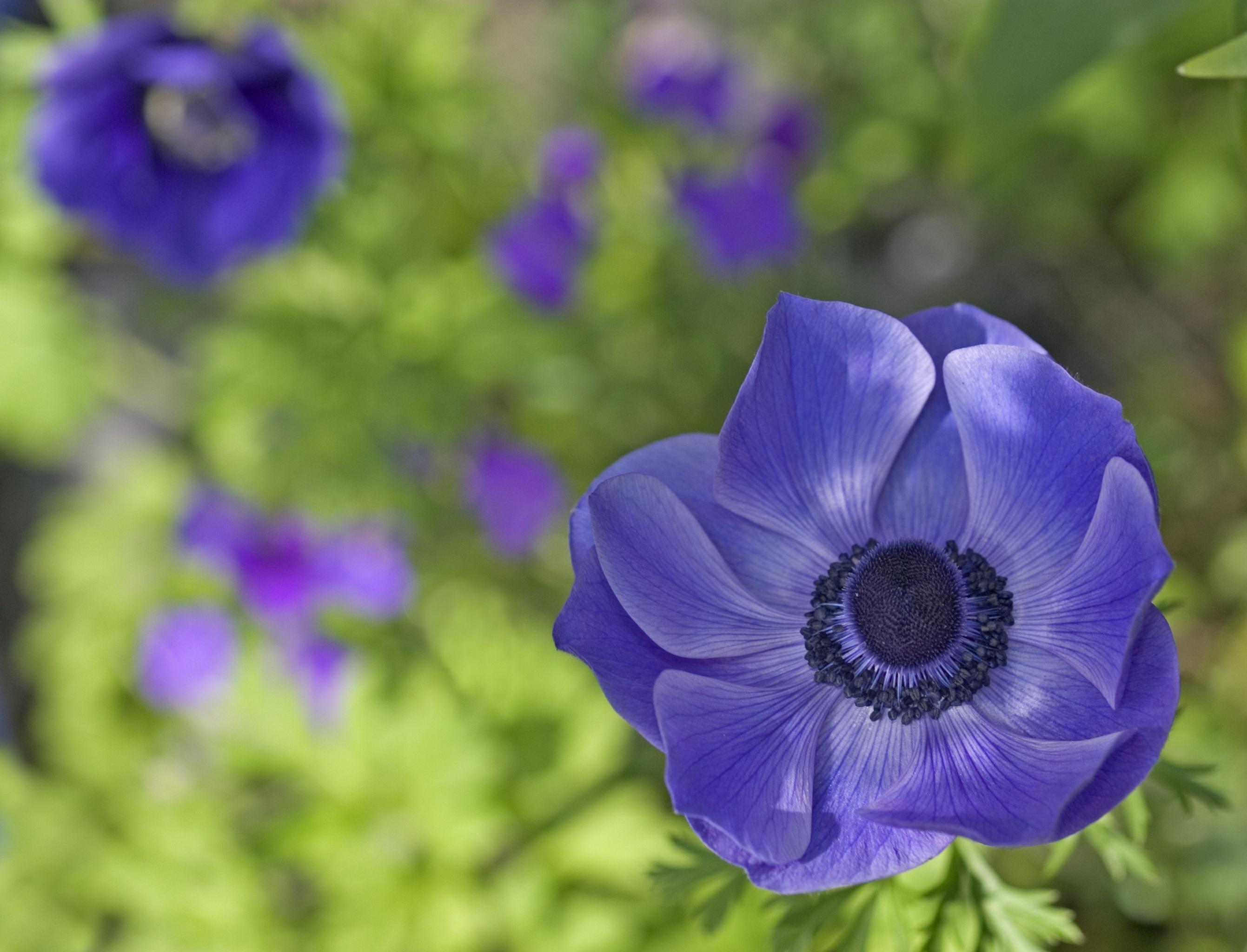 kostenloses foto zum thema anemone blau blume. Black Bedroom Furniture Sets. Home Design Ideas
