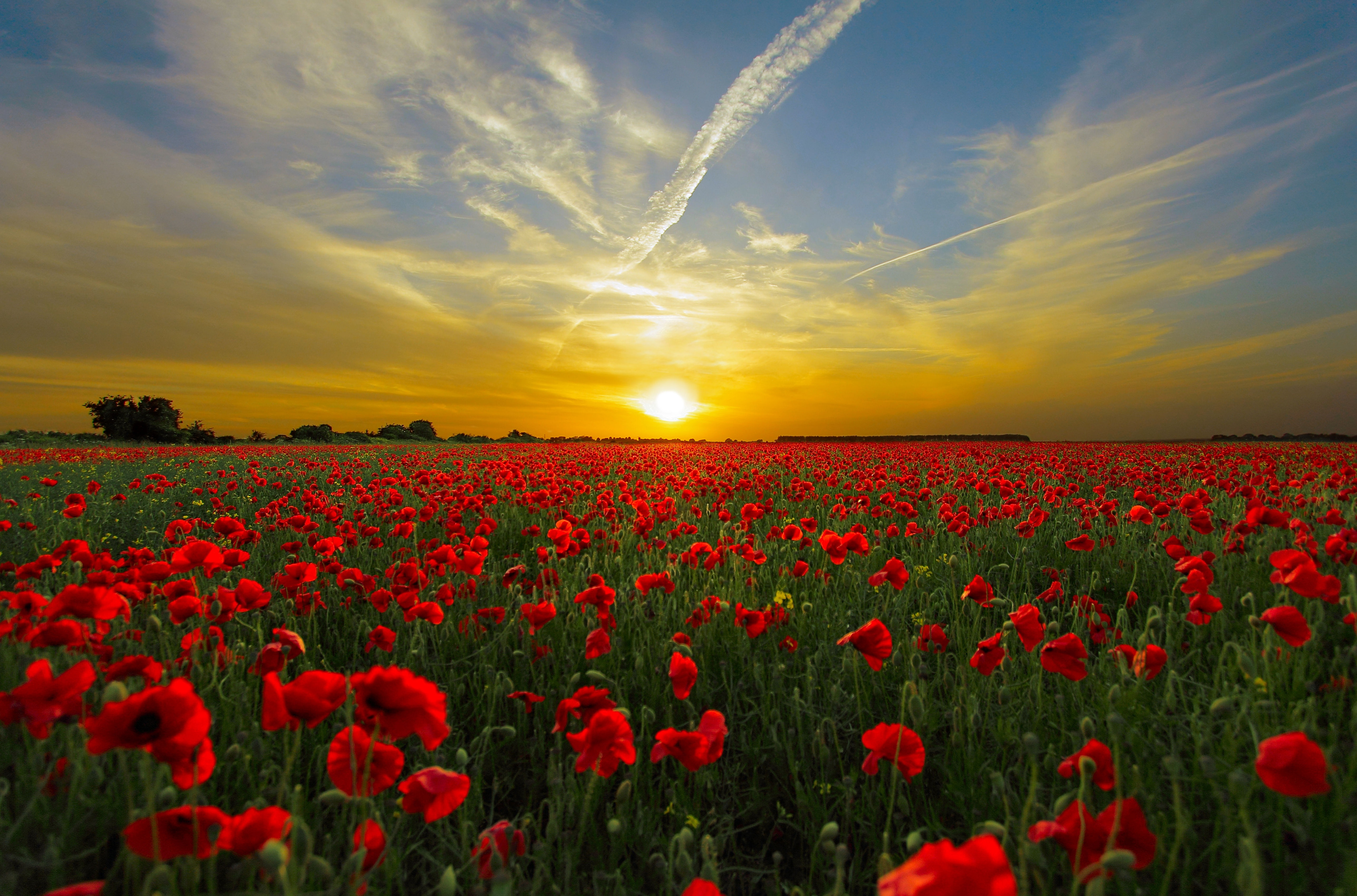 Poppy flower field at night royalty free stock photography image - Red Cluster Petal Flower Field During Sunset