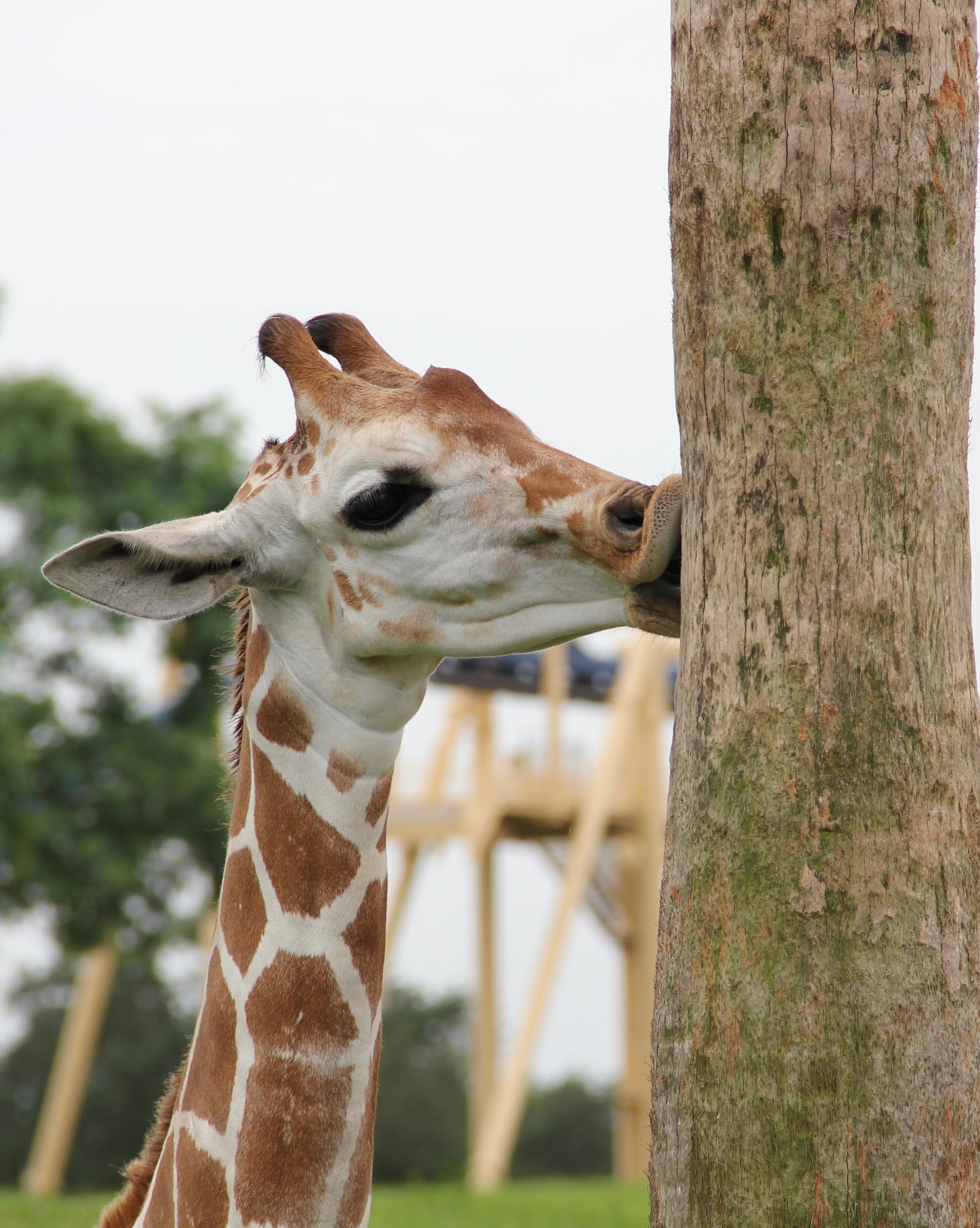 free stock photo of giraffe giraffe and tree trunk giraffe kiss