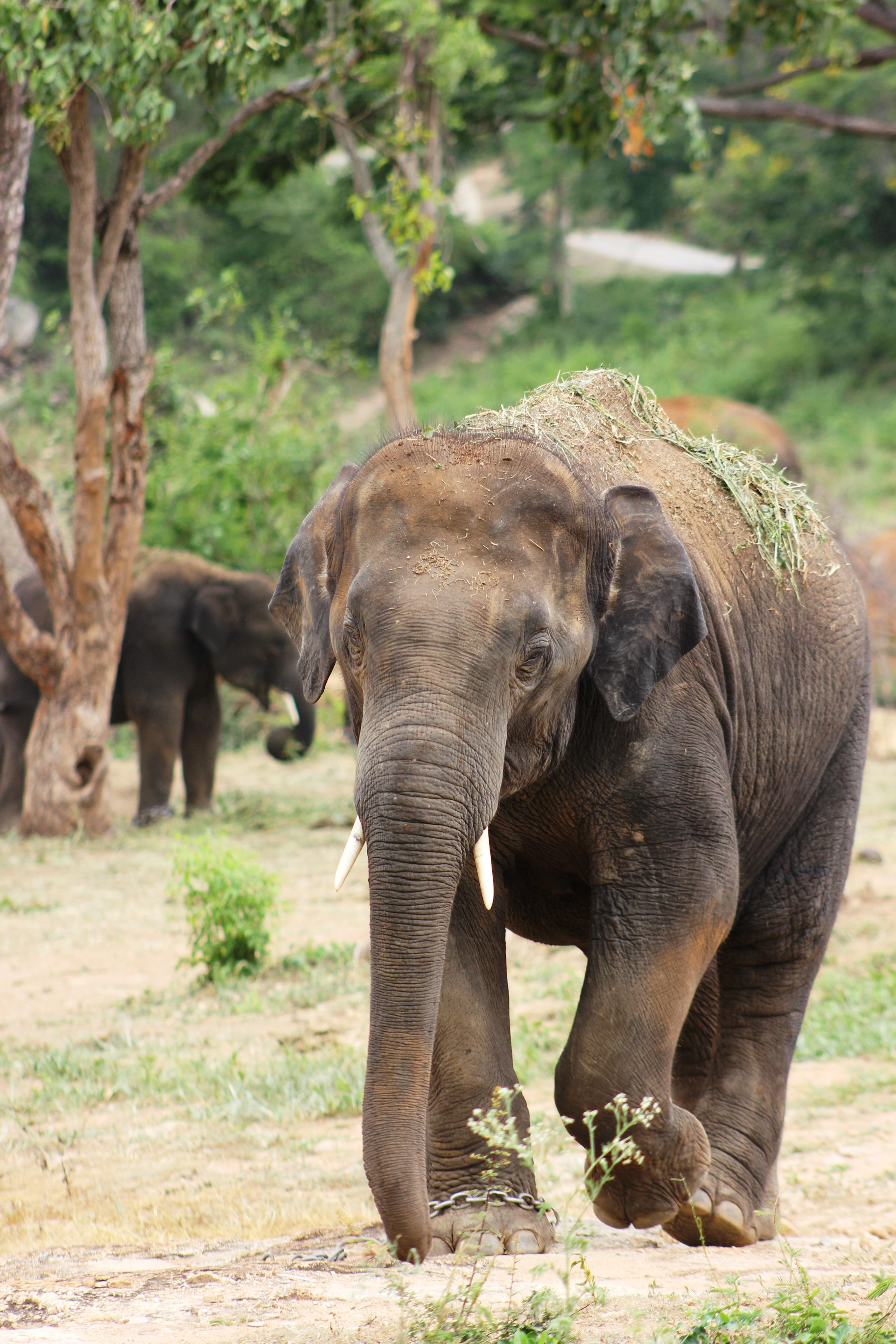 Brown Elephant On Ground 183 Free Stock Photo
