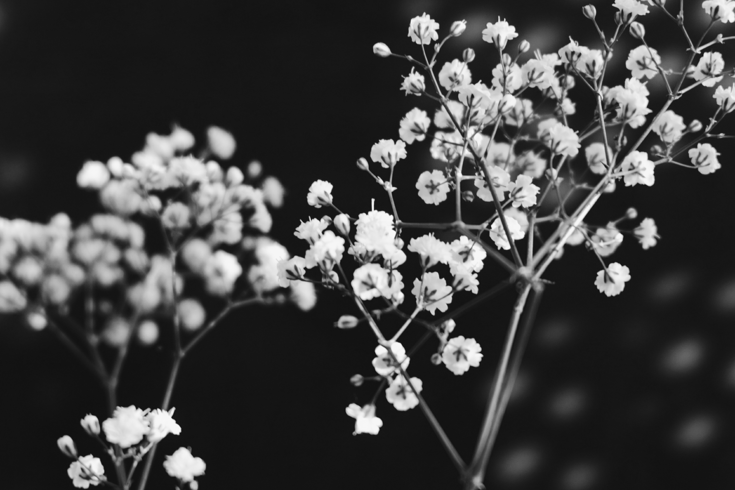 free stock photo of blackandwhite branch flowers