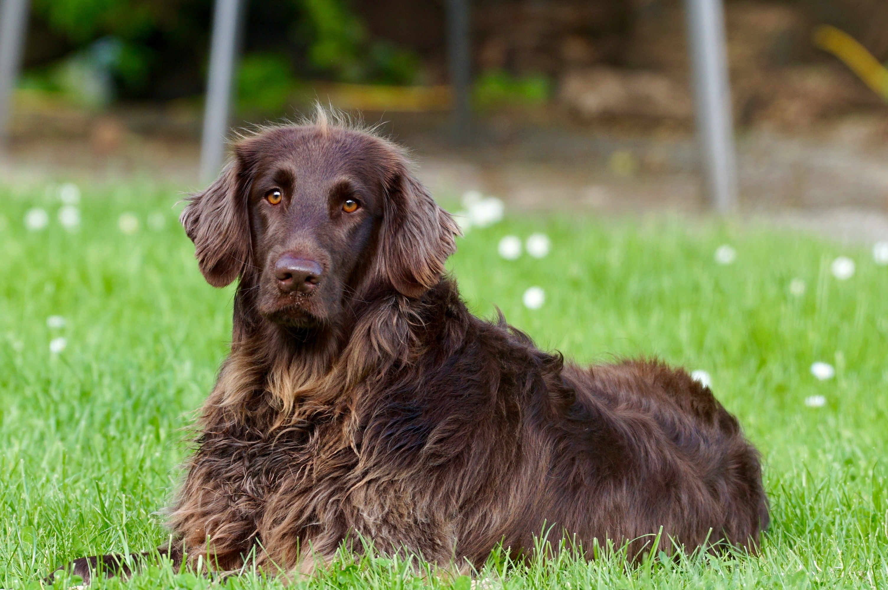 Free Stock Photo Of Animal Dog German Longhaired Pointer