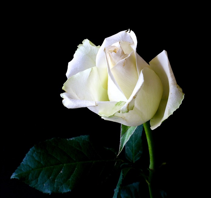 naturaleza, planta, blanca
